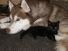 Hundebetreuungwien - Siberian Husky Maruk und Katzenbaby Naomi