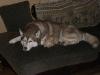 Hundebetreuungwien - Siberian Husky Maruk und Katzenbaby Sam