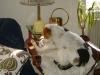 Hundebetreuungwien - Jack Russell Terrier und Europäisch Kurzhaar
