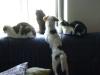 Hundebetreuungwien - Terrier und Hauskatzen - ein gutes Team