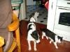 Hundebetreuungwien - Kater Neo/ Parson Jack Russel Terrier/ Hauskatze Leila