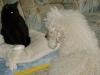 Hundebetreuungwien - Königspudel Moritz und Hauskatze Amelia kommen sich näher