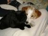Hundebetreuungwien - Terrier und Hauskatze