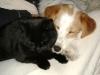 Hundebetreuungwien - Parson Russell Terrier Mischa und Hauskätzin Amelia