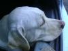 Hundebetreuung Wien / Der Kopf unseres Hundes - Der Kopf unseres Hundes kann verschiedene Formen aufweisen. Wenn wir von der üblichen Kopfform ausgehen, so hat unser Hund einen relativ breiten Oberkopf, zeigt zwischen den Ohren eine flache Fläche und geht nach vorn dann mehr oder weniger spitz zu.