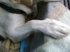 Hundebetreuung Wien / Hundepfoten - Als Pfote werden die Enden der Extremitäten bei vielen landlebenden Säugetieren, mit Ausnahme der Huftiere und Primaten, bezeichnet. Sie entspricht der Hand (Vorderpfote) bzw. dem Fuß (Hinterpfote) beim Menschen.