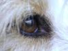 Hundebetreuung Wien / Das Auge unserer Hunde -  Augen sind Sinnesorgane, die Lichtreize aufnehmen, in elektrische Signale umwandeln und an das Gehirn weiterleiten. Das Sehorgan des Hundes ist auf die speziellen Anforderungen eines Jägers abgestimmt, der schnell und auch bei schlechten Lichtverhältnissen bewegte Objekte wahrnehmen muss.