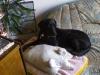 Labrador Lea wundert sich - Dogsitter Wien