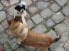 Hunde beim Spielen - Dogwalking