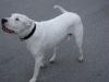 Argentinische Dogge - Hundebetreuung mobil vor Ort