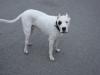 Hundebetreuung mobil vor Ort - Argentinische Dogge