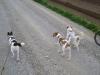 Hundebetreuung Stieglecker - Hundetraining Bildergalerie - Terrier Lauftraining