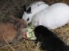 Kleintierbetreuung - Kaninchen beim Knabbern