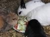 Kleintierbetreuung - Kaninchenfamilie Emilie/Marie/Peppino/Felix