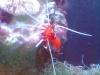 Tierbilder Galerie Stieglecker - Meerwasser Garnele - Als Garnelen werden unterschiedliche Arten in der Bodenzone lebender oder freischwimmender Krebstiere bezeichnet.
