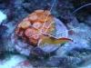 Tierbilder Galerie Stieglecker - Meerwasser Garnele - Die Fortpflanzung ist meist an festgelegte Jahreszeiten gebunden und erfolgt bei vielen Arten während der Nacht.