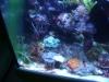 Tierbilder Galerie Stieglecker - Korallen - Trotz dieses Namens handelt es bei den Korallen also um Tiere!