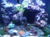 Tierbilder Galerie Stieglecker - Korallen - Korallen gehören zu den Blumentieren und treten als Polypen in Erscheinung.