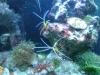 Tierbilder Galerie Stieglecker - Meerwasser Garnele - Garnelen sind opivar, also eierlegend.