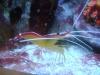 Tierbilder Galerie Stieglecker - Meerwasser Garnele - Ihre Geschlechtsöffnungen liegen auf der Unterseite des Körpers an und zwischen den Schreitbeinen.