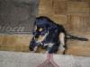 Betreuter Welpe - Haushunde Welpenbetreuung Wien