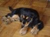 Spaniel Welpe - Haushunde Welpenbetreuung Wien