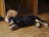 Englische Cocker Spaniel Hundewelpen - Welpen betreut in Wien