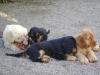 Hundewelpen betreut in Wien - Betreute Hundewelpen
