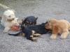 Betreuung von Hundewelpen in Wien - Hundesitting in Wien