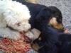 Hundewelpen betreut von Hundebetreuung Wien - Dogsitting & Dogwalking