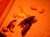 Hundebabys - Vorort Dogsitting