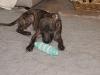 Hundebetreuung Wien -  Hundewelpen / Sowohl die Zahl der Welpen als auch deren Geburtsgewicht variiert erheblich und ist unter anderem rasseabhängig.