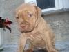 Welpen - Pitbull Terrier Rednose Welpe