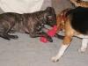Welpentraining Fotos - Hundebetreuung Stieglecker - Hundwelpen Indoorschule